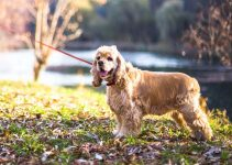 5 Best Dog Shampoos for Cocker Spaniels (Reviews Updated 2021)