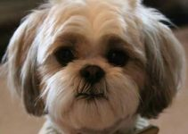 5 Best Dog Shampoos For Shih Tzus