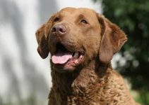 5 Best Dog Toys for Chesapeake Bay Retrievers (Reviews Updated 2021)