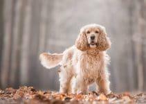 5 Best Dog Toys For Cocker Spaniels