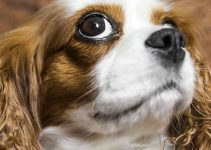Best Dog Beds For Cavalier King Charles Spaniels