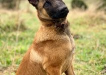 5 Best Dog Beds for Belgian Malinois (Reviews Updated 2021)