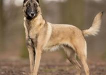 Best Dog Brush For Belgian Malinois