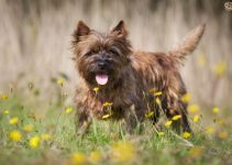 Best Dog Brush For Cairn Terriers