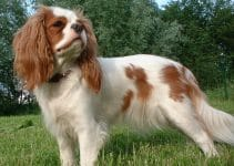 5 Best Dog Brushes for Cavalier King Charles Spaniels (Reviews Updated 2021)