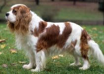 Best Dog Collars For Cavalier King Charles Spaniels