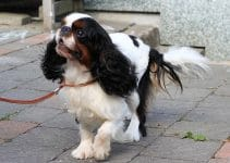 Best Dog Collars For English Toy Spaniels