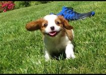 5 Best Dog Crates for Cavalier King Charles Spaniels (Reviews Updated 2021)