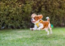 Best Dog Foods For Cavalier King Charles Spaniels