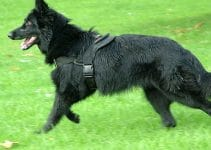 5 Best Dog Harnesses for Belgian Sheepdogs (Reviews Updated 2021)