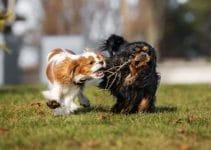 Best Dog Harnesses for Cavalier King Charles Spaniels