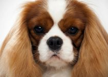 Best Dog Shampoos For Cavalier King Charles Spaniels