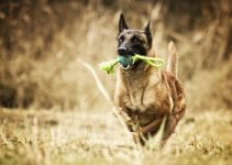 5 Best Dog Toys for Belgian Malinois (Reviews Updated 2021)