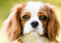 5 Best Puppy Foods for Cavalier King Charles Spaniels (Reviews Updated 2021)