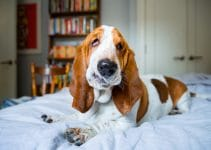 Dog Bed For Basset Hounds