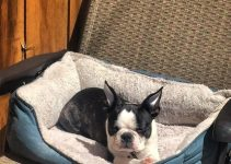5 Best Dog Beds for Boston Terriers (Reviews Updated 2021)
