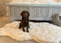 5 Best Dog Beds for Chesapeake Bay Retrievers (Reviews Updated 2021)