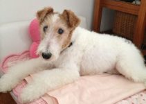 Dog Bed For Wire Fox Terrier