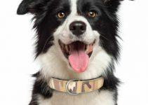 Dog Collar For Border Collies