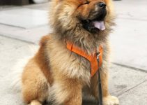 5 Best Dog Collars for Chow Chows (Reviews Updated 2021)