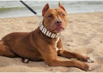 5 Best Dog Collars for Pitbulls (Reviews Updated 2021)