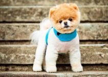 Dog Collar For Pomeranians