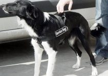 5 Best Dog Harnesses for Border Collies (Reviews Updated 2021)