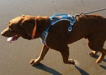 5 Best Dog Harnesses for Chesapeake Bay Retrievers (Reviews Updated 2021)