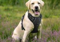 5 Best Dog Harnesses for Labrador Retrievers (Reviews Updated 2021)