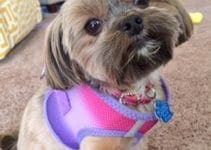 5 Best Dog Harnesses for Shih Tzus (Reviews Updated 2021)