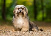 5 Best Dog Shampoos for Havanese (Reviews Updated 2021)