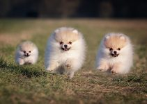 5 Best Dog Toys for Pomeranians (Reviews Updated 2021)