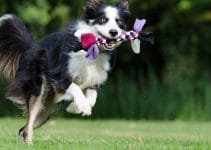 Dog Toys For Border Collies
