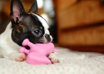 5 Best Dog Toys for Boston Terriers (Reviews Updated 2021)