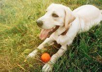 Dog Toys For Labrador Retrievers