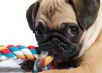 5 Best Dog Toys for Pugs (Reviews Updated 2021)