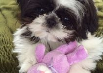 Dog Toys For Shih Tzu