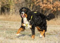 5 Best Dog Collars for Bernese Mountain Dogs (Reviews Updated 2021)