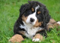 5 Best Dog Toys For Bernese Mountain Dogs Reviews & Buyer's Guide