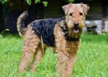 Best Dog Beds For Airedale Terriers