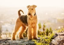 5 Best Dog Brushes for Airedale Terriers (Reviews Updated 2021)