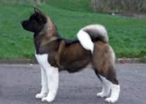 5 Best Dog Collars for Akitas (Reviews Updated 2021)