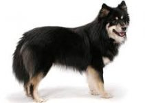 Best Dog Crate For Finnish Lapphunds