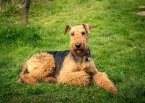 5 Best Dog Crates for Airedale Terriers (Reviews Updated 2021)