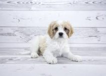 5 Best Dog Foods for Cavachons (Reviews Updated 2021)
