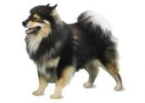 5 Best Dog Foods for Finnish Lapphunds (Reviews Updated 2021)