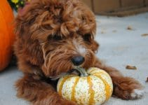 Best Dog Food With Pumpkins (1)