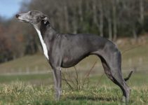 Best Dog Foods For Whippets