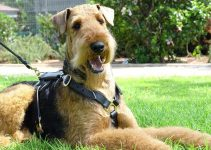 5 Best Dog Harnesses For Airedale Terriers (Reviews Updated 2021)