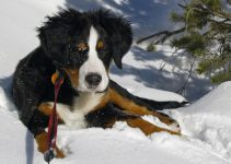 Best Dog Harness For Bernese Mountain Dog